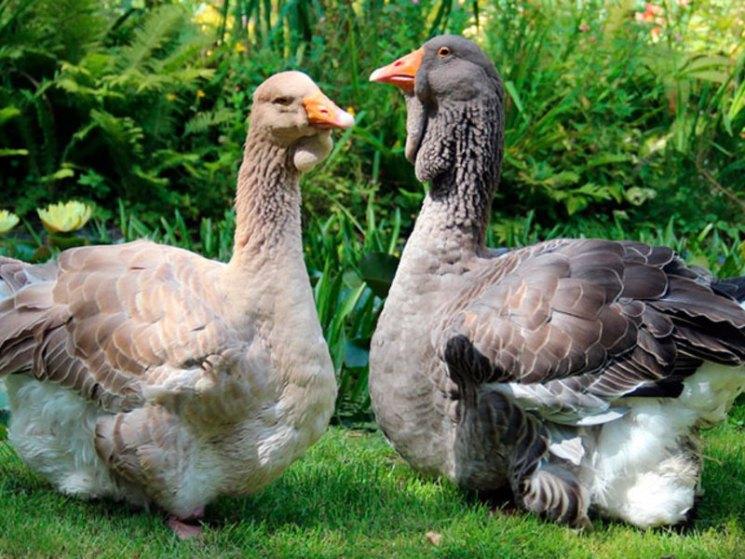 Тулузская порода гусей