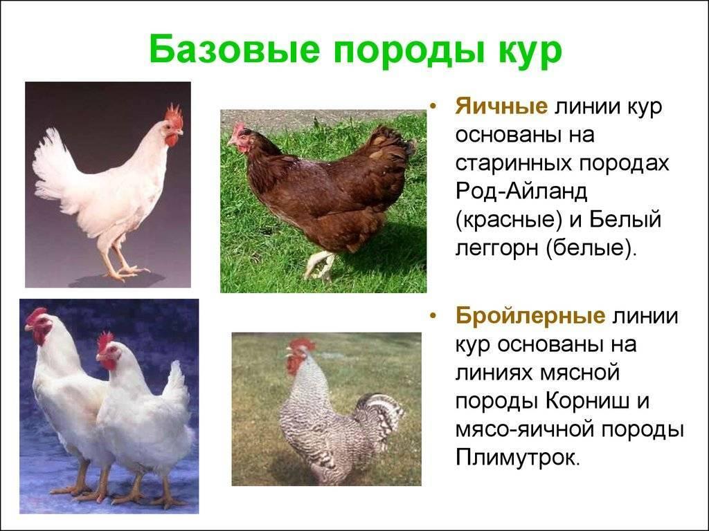 Оравка порода кур – описание с фото и видео