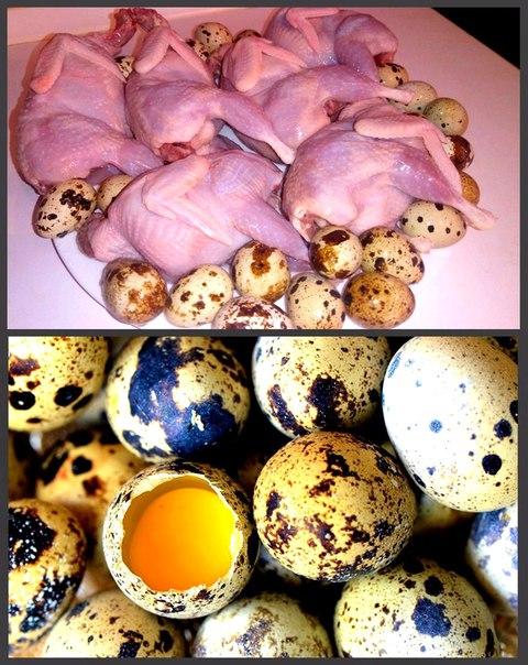 Можно ли вывести перепелок из магазинных яиц и пополнить поголовье
