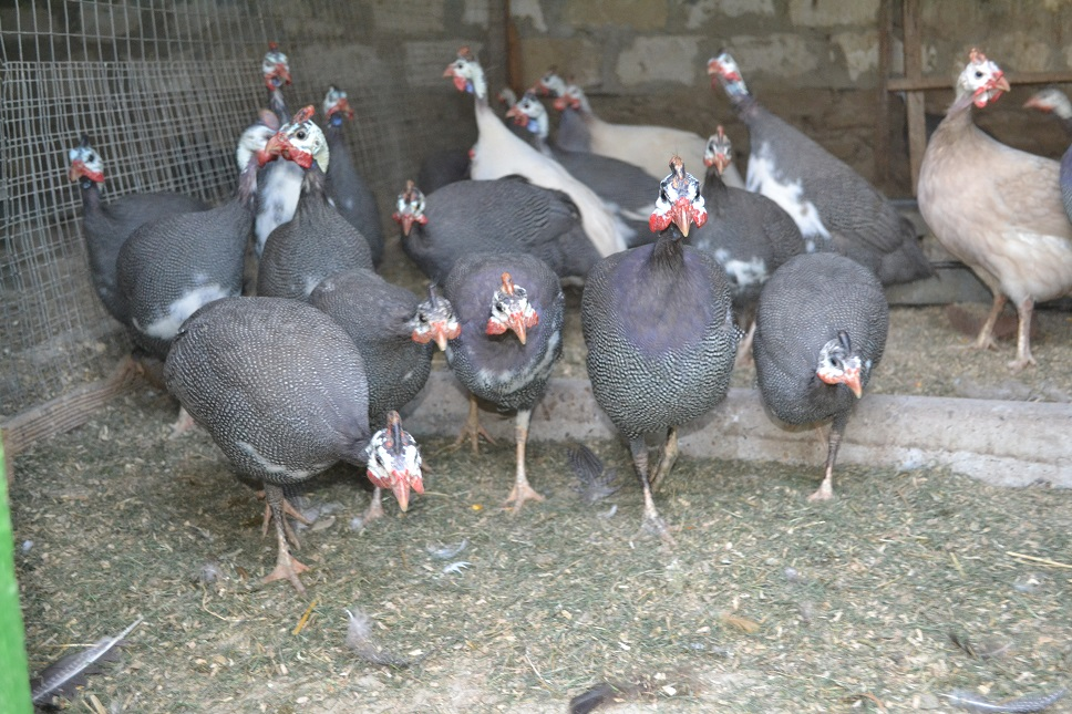 Цесарка серо-крапчатая бройлерная – мясные характеристики, предпочтительное содержание