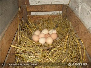 Сколько яиц можно подложить под курицу наседку для выведения цыплят?