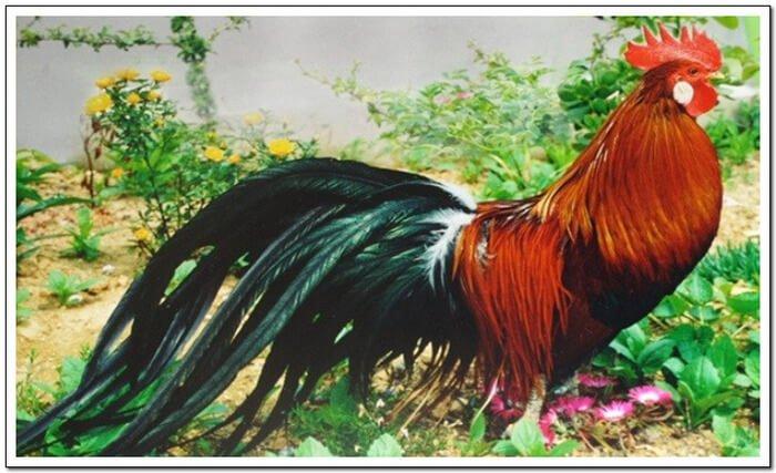 Джангмигай порода кур – описание с фото и видео