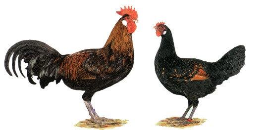 Бергская голосистая порода кур – описание с фото и видео