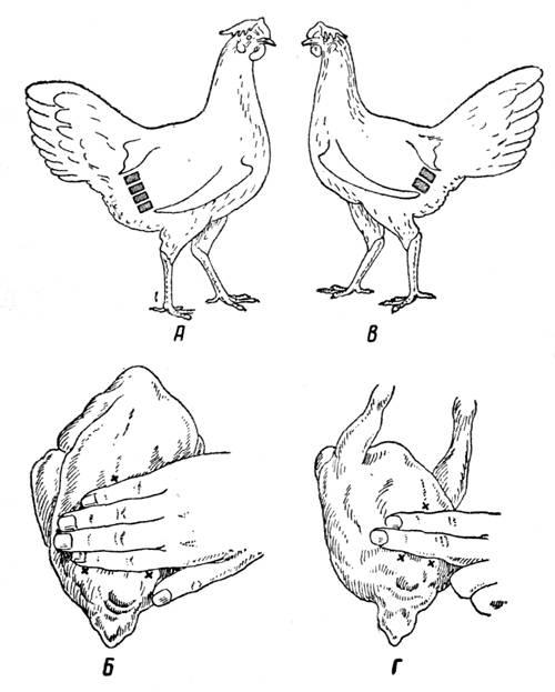 Порядок клевания у кур