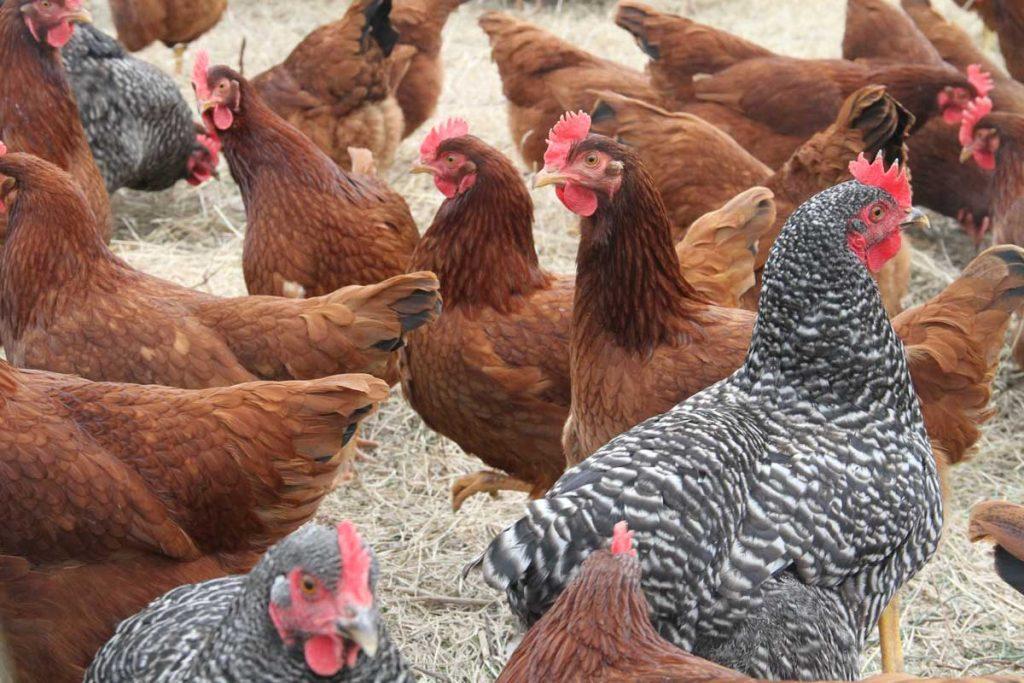 Куры Авиколор - мясо-яичный кросс. Описание, характеристики, содержание и выращивание, кормление
