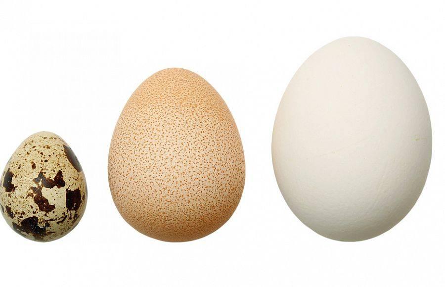 Яйца цесарки – польза и вред, отличие от куриных и яиц других домашних птиц