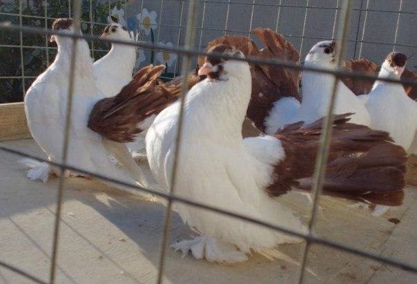 Породная группа статных голубей: стандарт, внешний вид, условия содержания