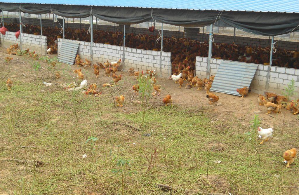 Выращивание и разведение кур несушек: с чего начать