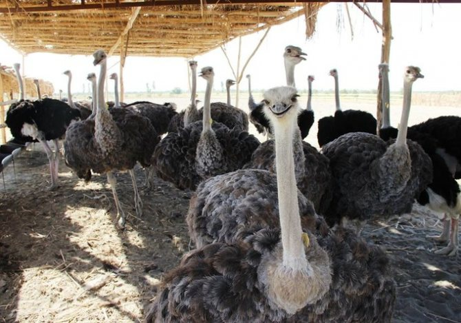 Обыкновенный страус – описание, нюансы содержания на страусиной ферме