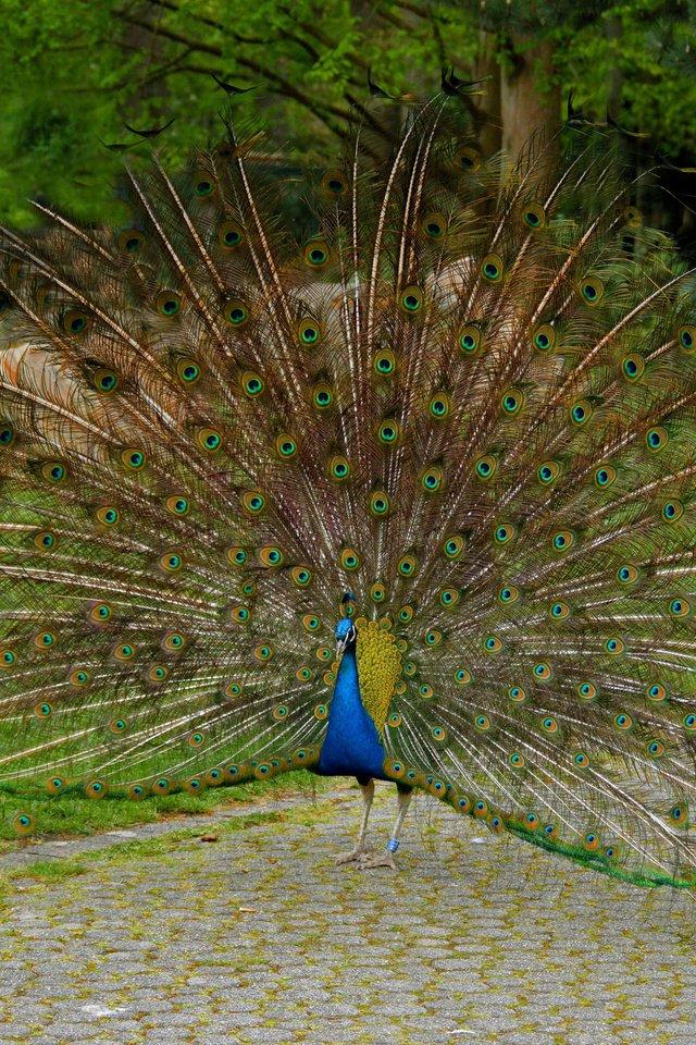 Загадка природы: почему павлин распускает хвост