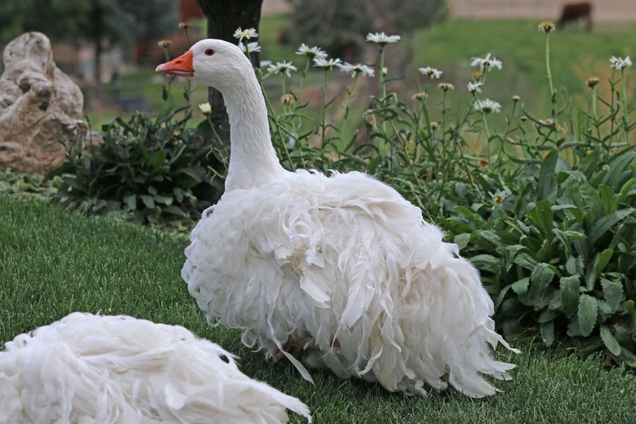 Какие бывают декоративные гуси, употребляют ли их мясо в пищу?