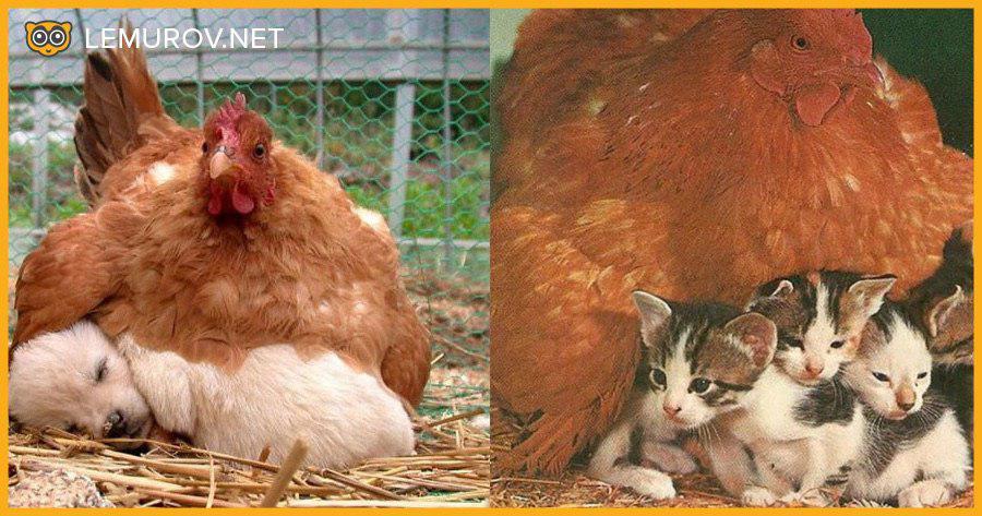 Выведение цыплят наседкой – 10 советов