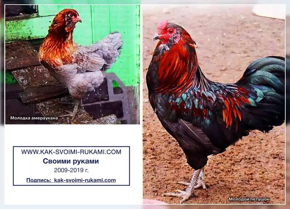Шококу порода кур – описание с фото и видео