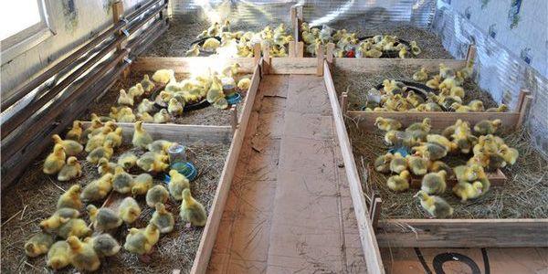 Как организовать выращивание гусей на мясо как бизнес дома