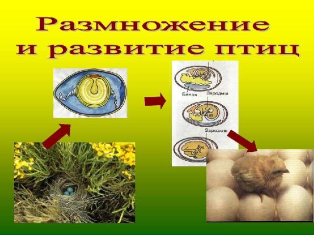Как развивается птенец в яйце по дням. Определение признаков правильного и неправильного развития цыпленка