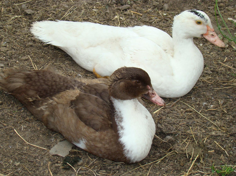 Мускусные утки: фото описание породы