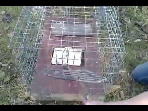 Как избавиться от куницы в курятнике, если она убивает кур?
