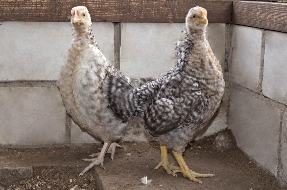 Киргизская серая порода кур – описание, фото и видео