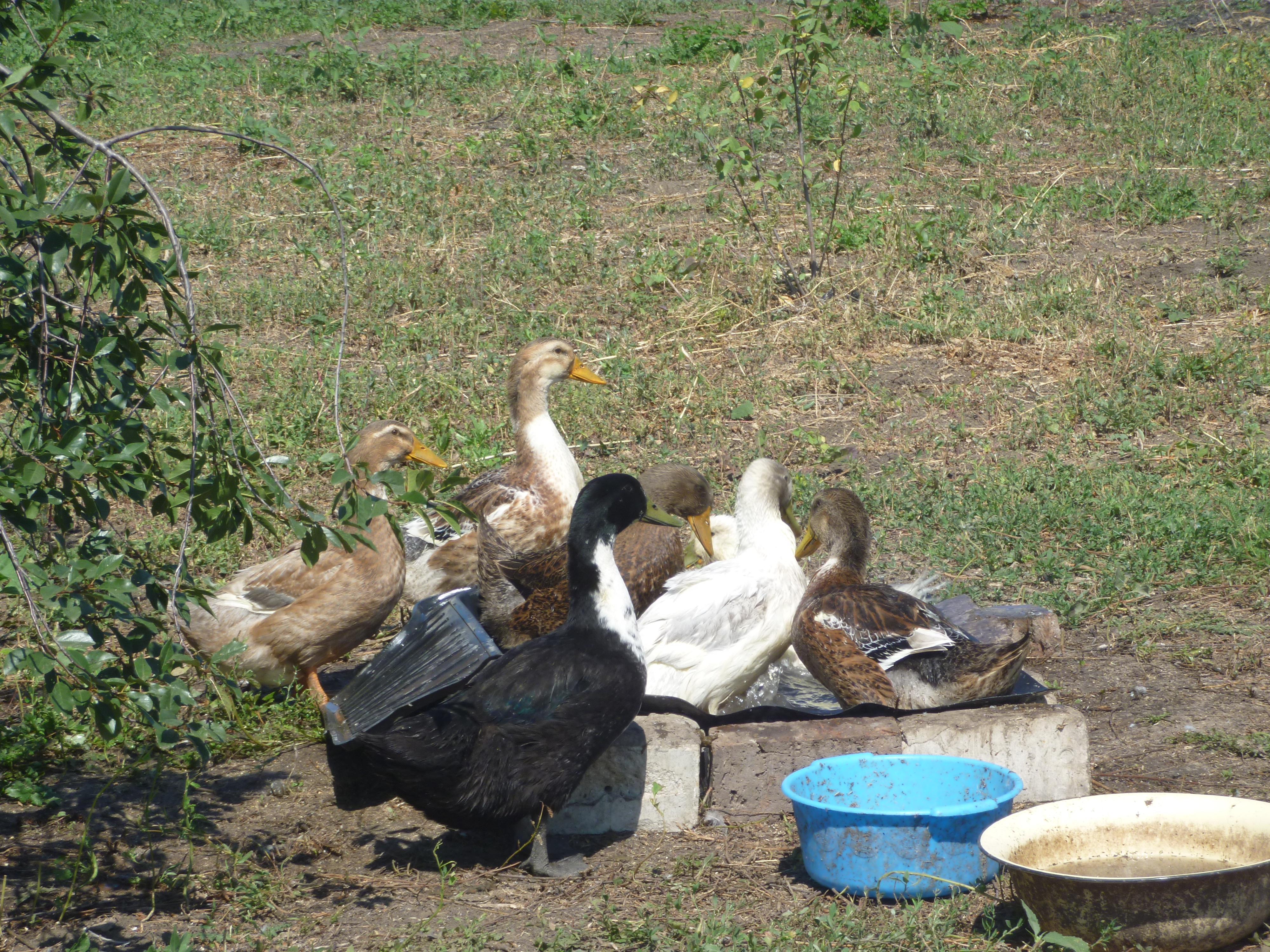 Лучшая среди мясо-яичных уток – Башкирская
