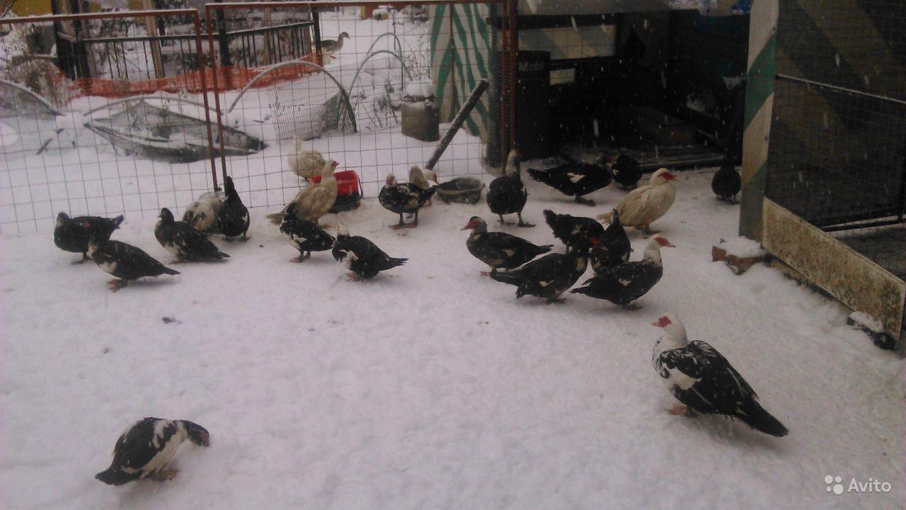 Правила зимнего содержания индоуток