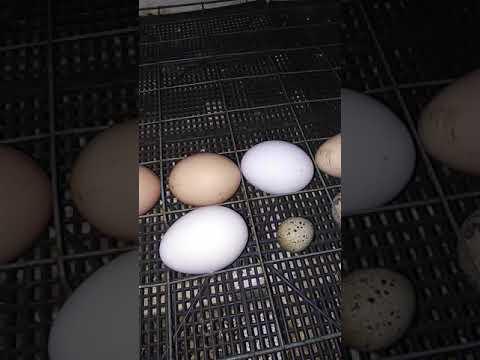 Про яйценоскость перпелок: когда, как долго