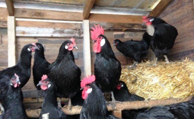 Барбезье - мясо-яичная порода кур. Описание, характеристики, выращивание, нюансы кормления и инкубации