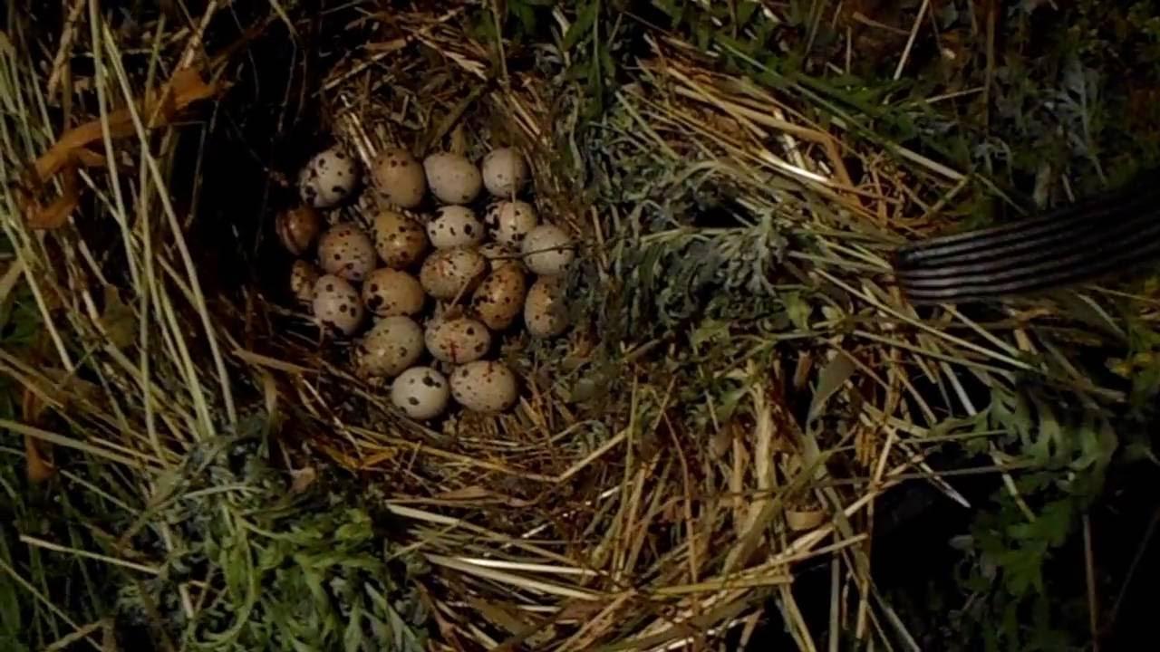 Сколько яиц несут перепела