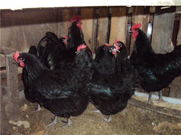 Австралорп - мясо-яичная порода кур. Характеристики, особенности содержания, кормление, инкубация