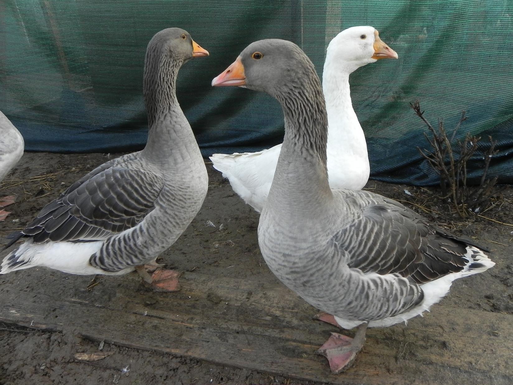 Породы гусей, больше всего подходящих для домашнего разведения