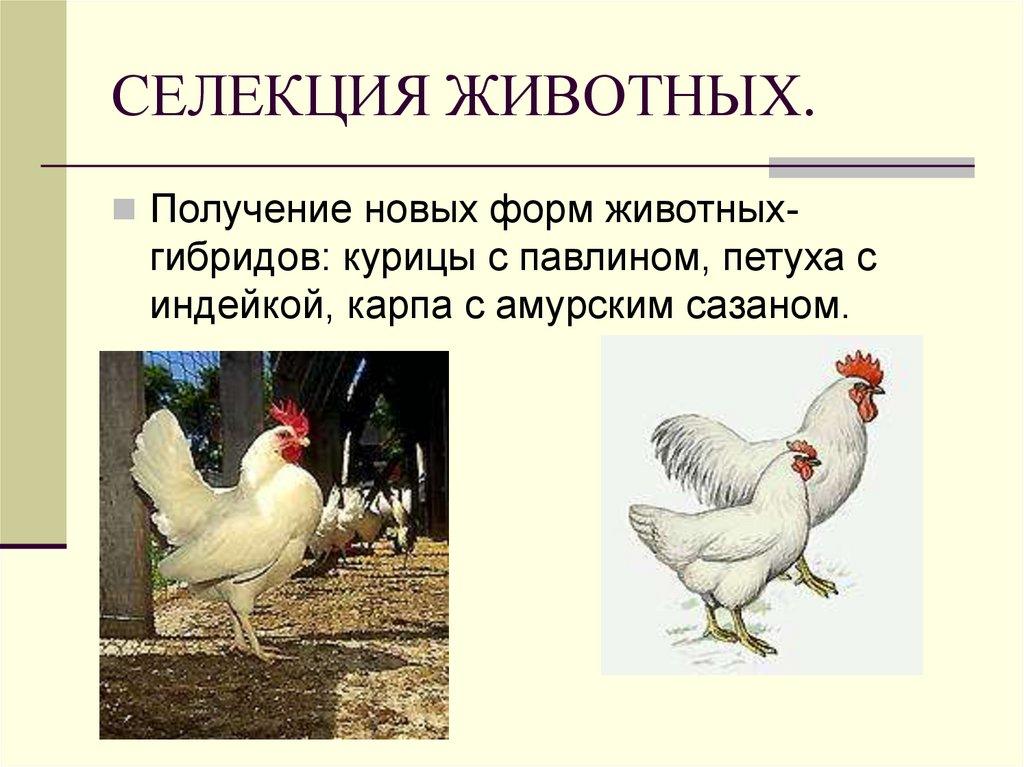 Сульмталер - мясо-яичная порода кур. Описание, содержание, разведение, кормление и инкубация