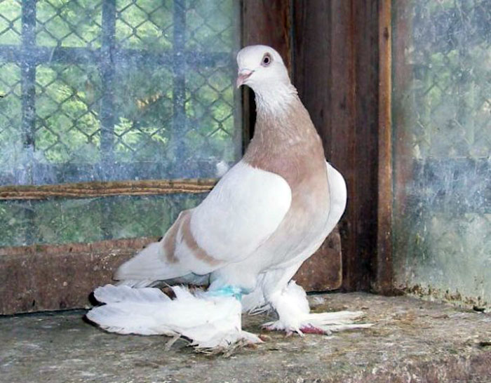 Агараны – описание и характеристики бойной породы голубей