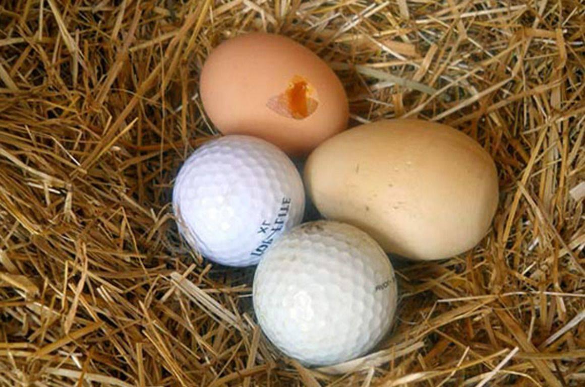 Поедание курами яиц – в чем причина такого поведения?