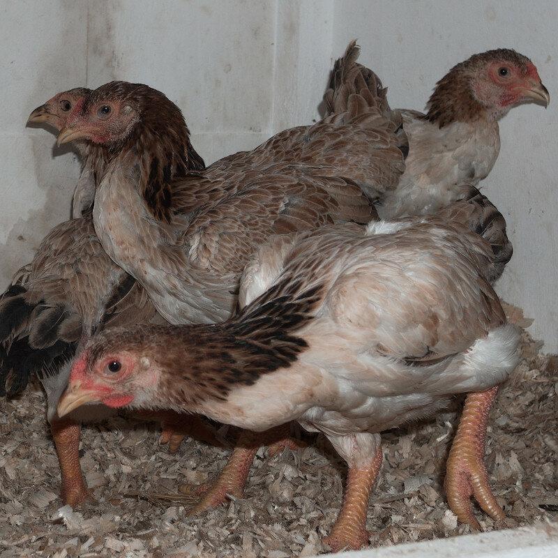 Га Донг Тао - декоративная порода кур. Описание, характеристика, содержание и уход, выращивание, кормление