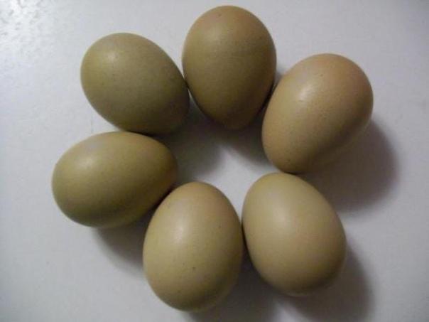 Куры Грюнлегер - яичный кросс. Описание, характеристика, содержание и уход, кормление, отзывы