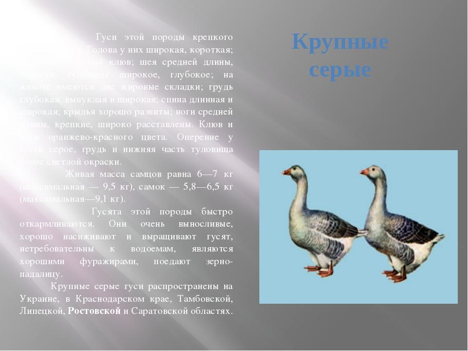 Породы домашних гусей
