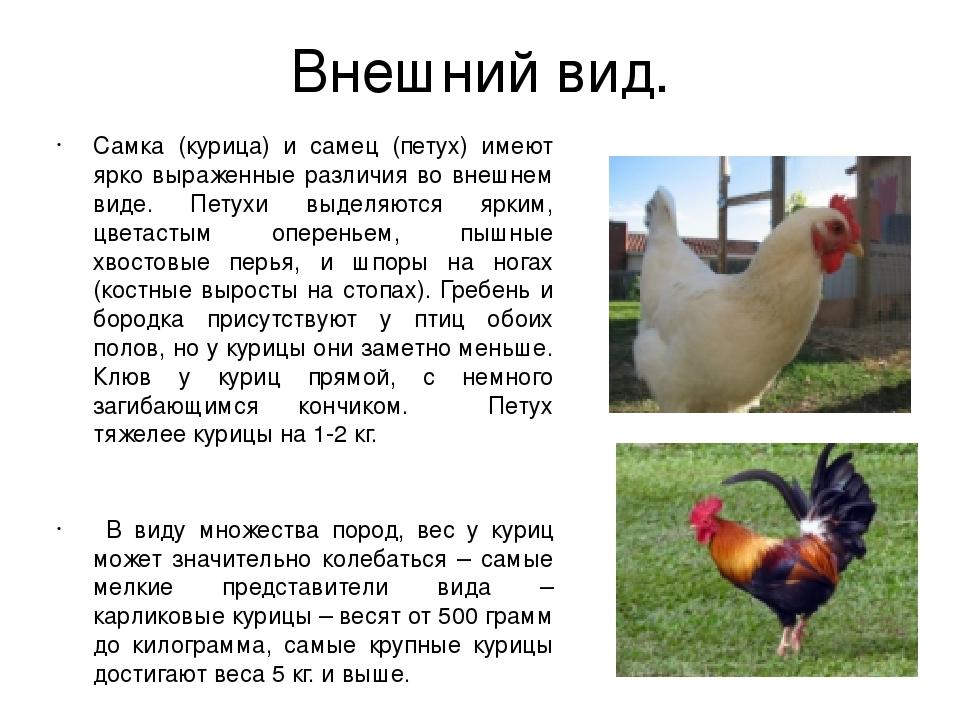 Может ли курица нести яйца без петуха: какая разница между оплодотворенными и неоплодотворенными яйцами?