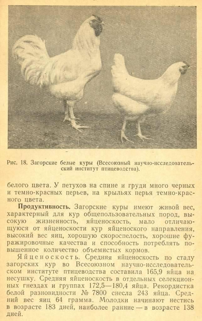 Загорская лососевая - мясо-яичная порода кур. Описание, характеристики, содержание, кормление и правила инкубации