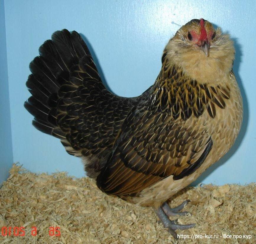 Антверпенская карликовая бородатая порода кур – описание с фото и видео