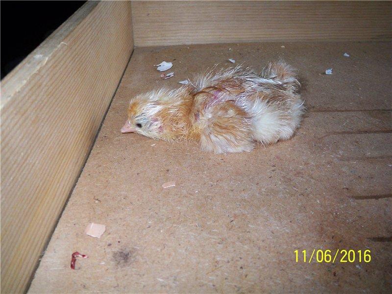 Проблемы с цыплятами после вылупления