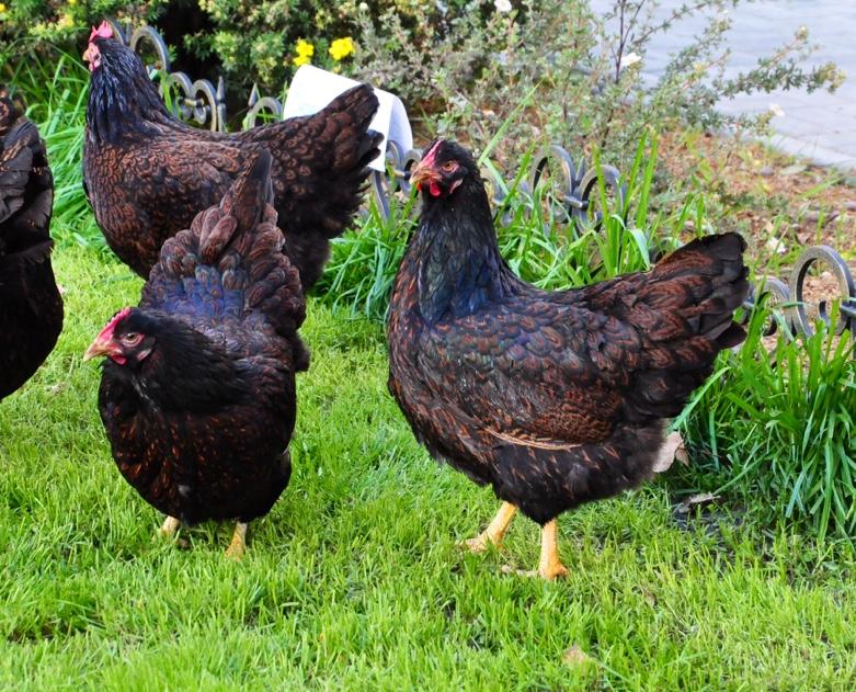 Барневельдер порода кур – описание, фото и видео