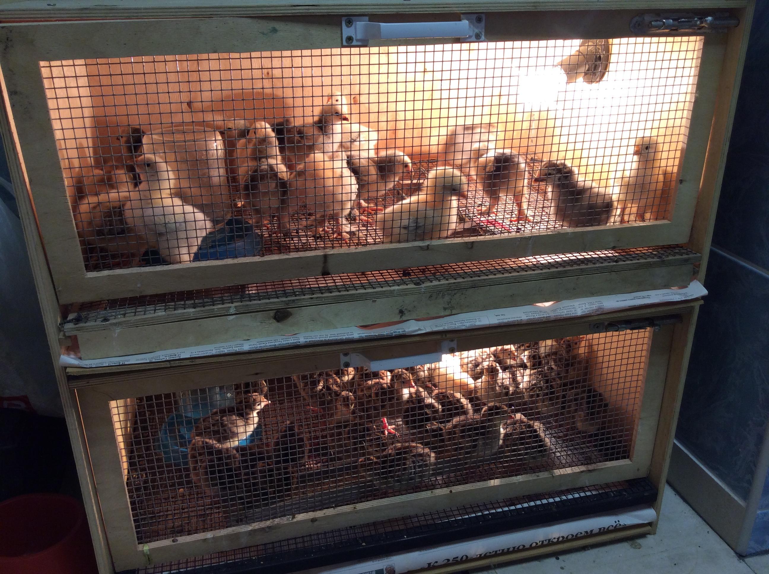 Какой купить брудер для цыплят. Рейтинг моделей для любителей, фермеров и профессионалов