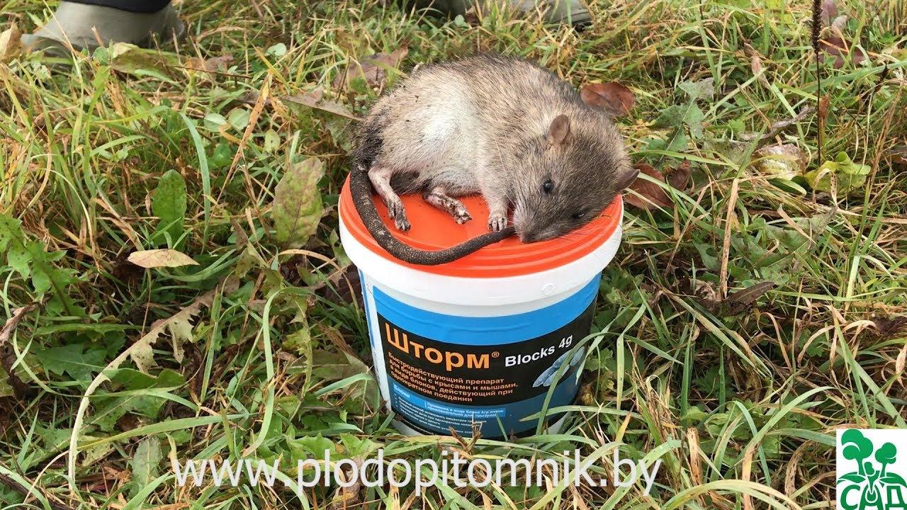 Как избавиться от крыс в курятнике навсегда и без вреда для кур? Ловушки, народные средства и другие методы