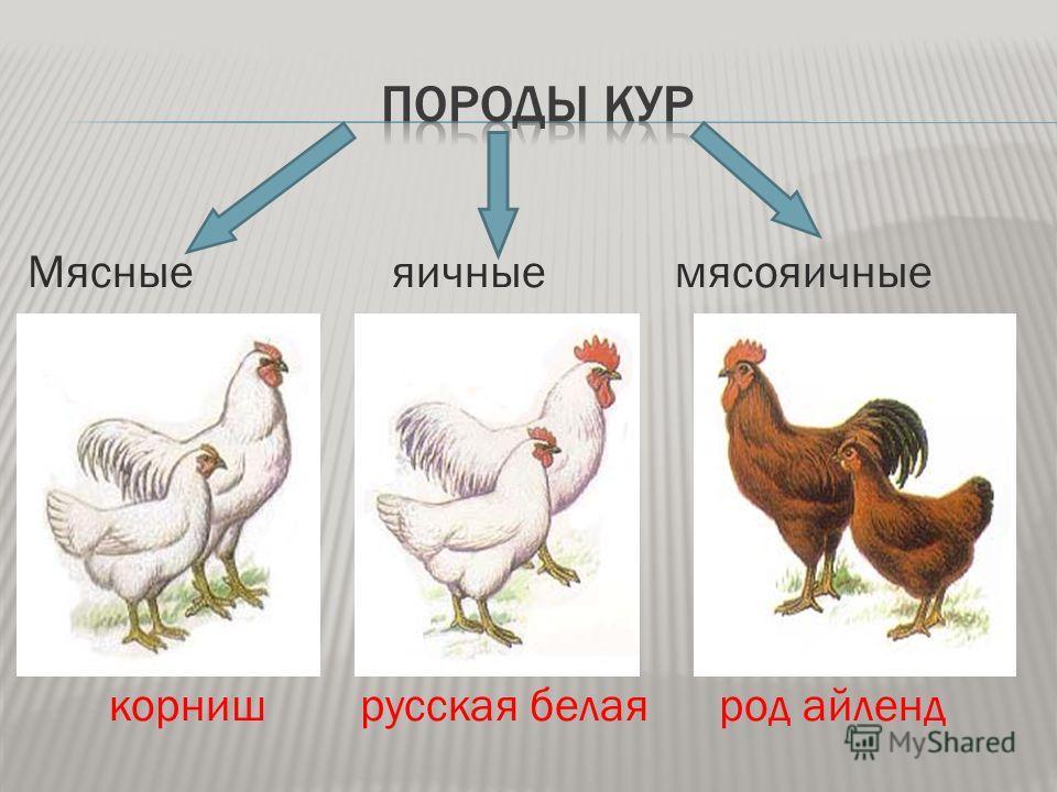 Кроссы кур: что это такое? Птицы яичного и мясного направления, их характеристика и продуктивность