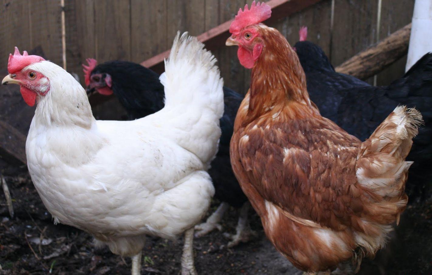 Хайсекс Уайт - яичный кросс кур. Характеристики, описание, выращивание и кормление
