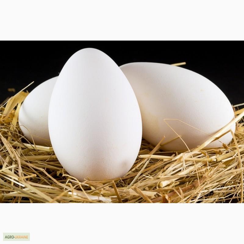 Какие бывают яичные породы гусей, можно ли их яйца употреблять в пищу
