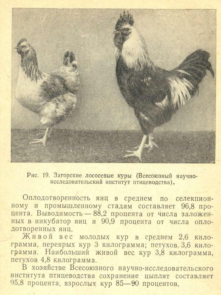 Загорские лососевые куры – описание с фото, содержание и уход