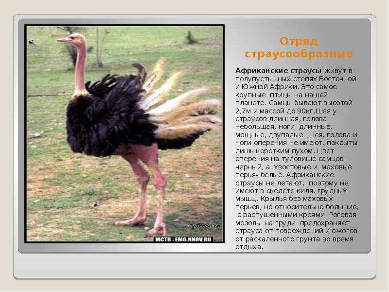 Американский страус Нанду: описание вида