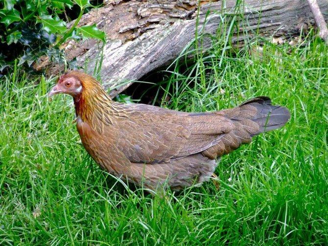 Банкивская курица – дикая птица родом из тропиков
