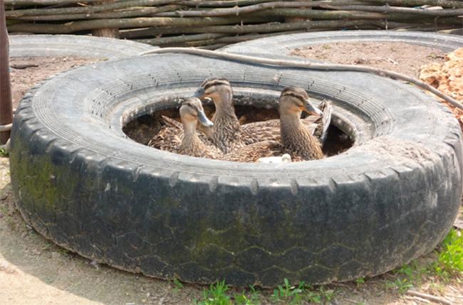 Старые шины как ванны для кур