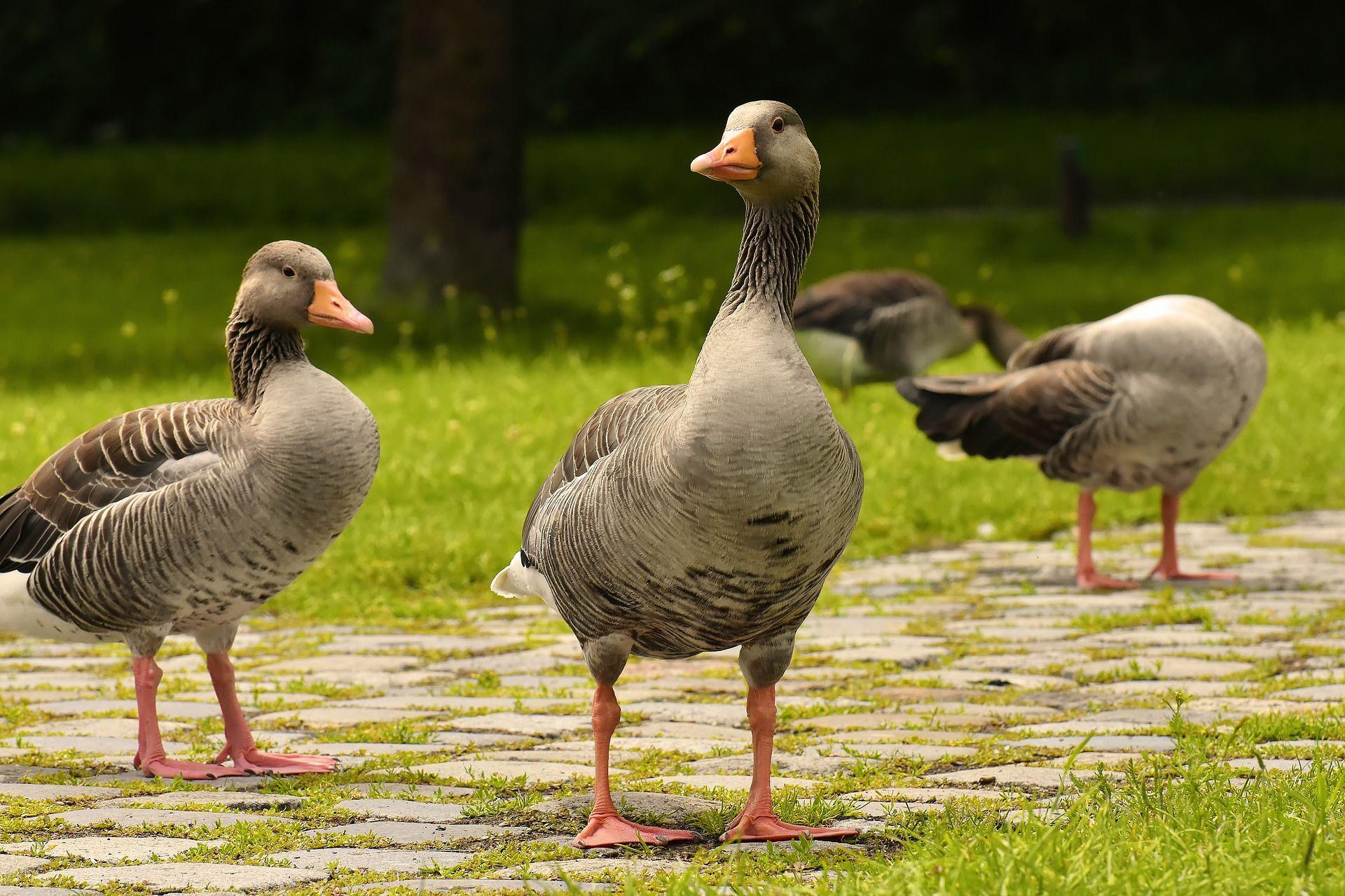 12 забавных фактов о домашних гусях